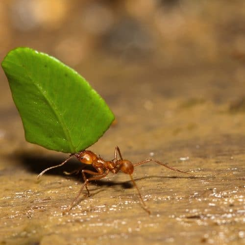 Ant with leaf